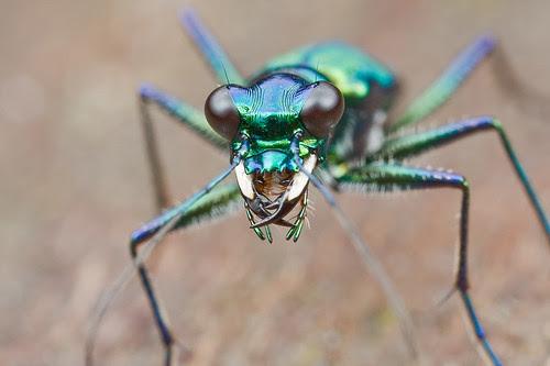 green tiger beetle IMG_0024 copy