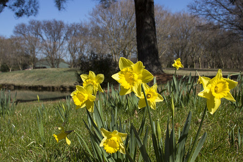 Daffodils by bahayla