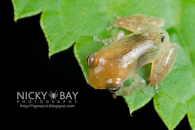 Frog (Anura) - DSC_8845