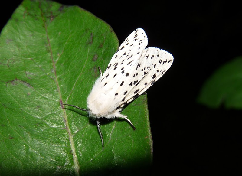 P1110135 - White Ermine