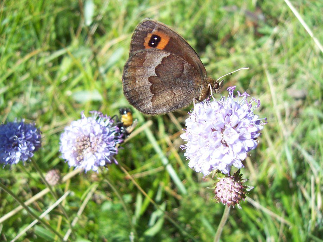 Photo de papillon : le moiré - erebia - sur scabieuse