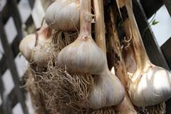 garlic 009