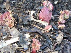 Red rhubarb breaking ground