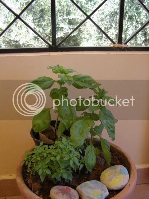 basil plants