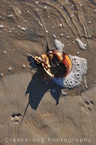 Lots of horseshoe crab remains...