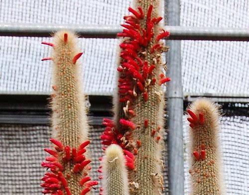 cactus en flor DSC_0353