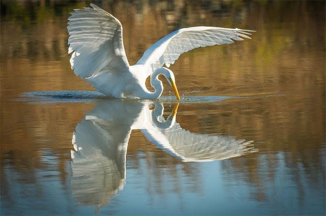 Great                       egret in Morro Bay, California