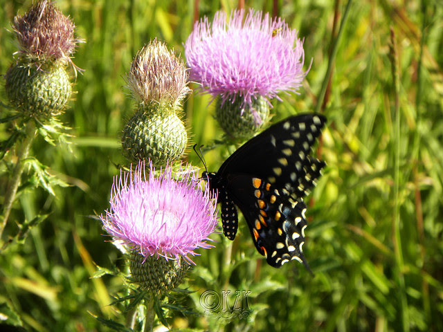 DSCN4394 Butterfly on Thistle