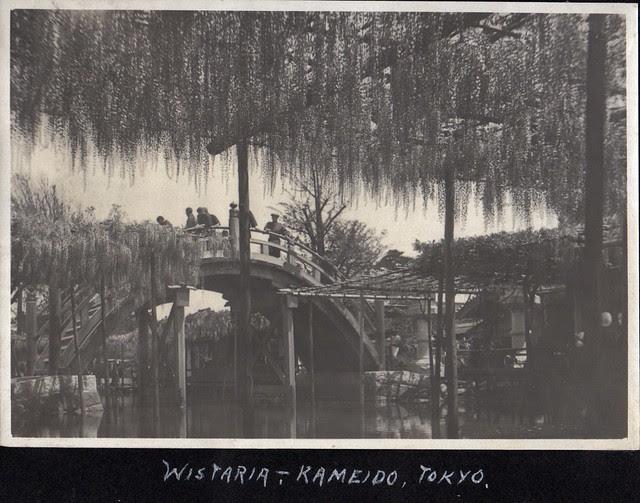 Wisteria - Kameido, Tokyo