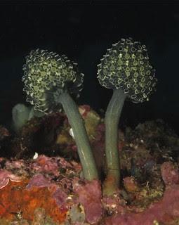 Stalked green tunicates