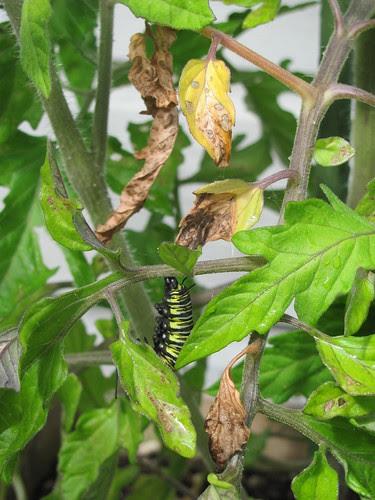 On my Tomato plants