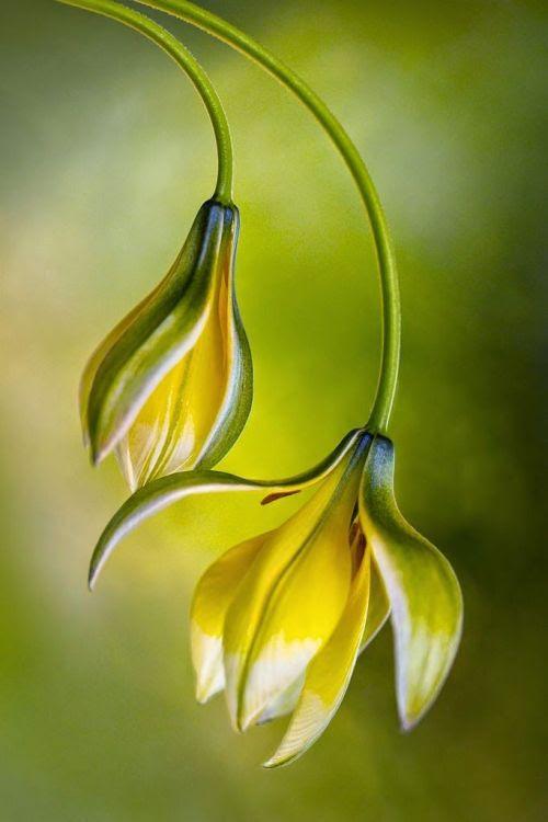 flowersgardenlove:  ~~Tulipa By Mandy Di Beautiful gorgeous pretty flowers