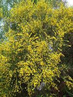 Blooming Broom