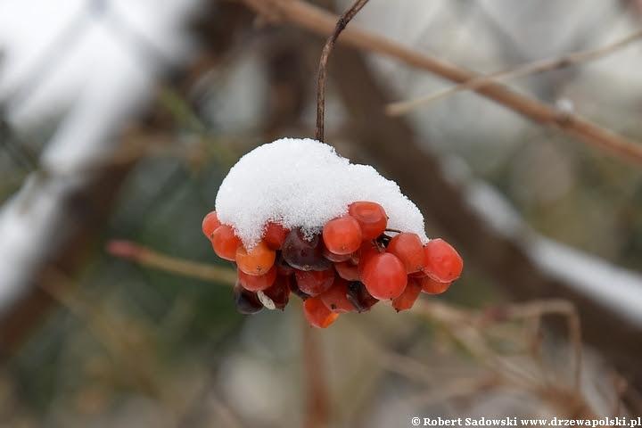 Pierwszy śnieg w ogrodzie