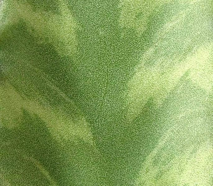 File:Euphorbia pseudocactus4 ies.jpg