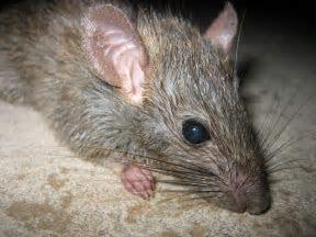 Orlando Exterminators   rat removal for FL, Florida