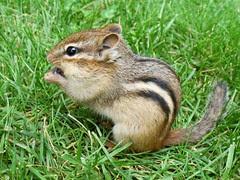 Tamia rayé -- Eastern chipmunk