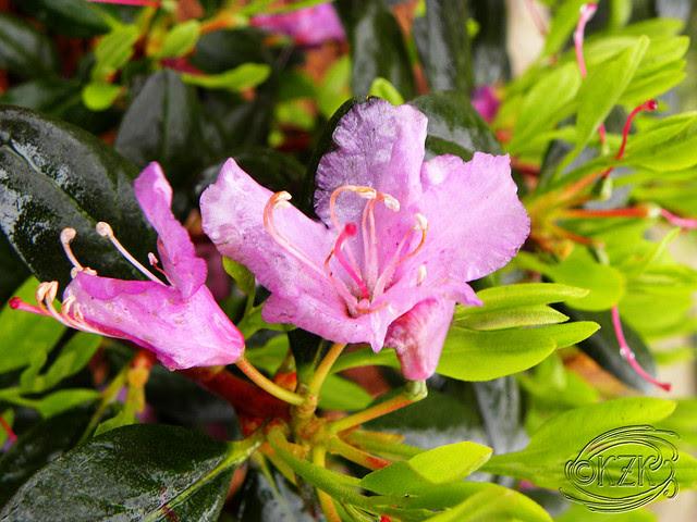DSCN1071 PJM Rhododendron
