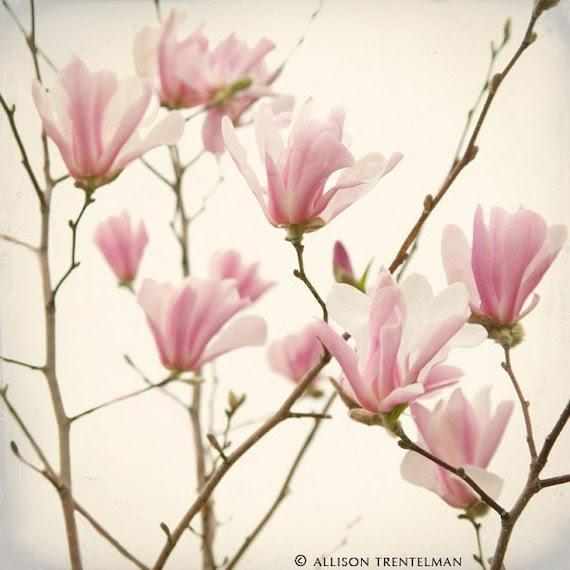 Sale 20% OFF - Pink Magnolia Blooms - fine art nature photography print of beautiful spring flowers