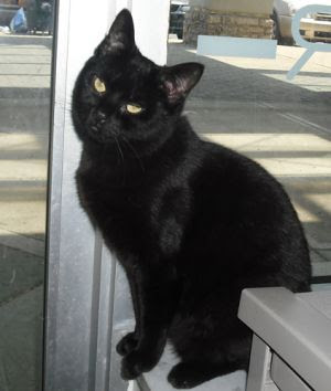 Miney: Domestic Short Hair-Black, Cat; Dublin, OH