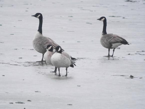 Ed Gaillard: birds &emdash; Cackling Geese and Canada Geese, Flushing Meadow Park