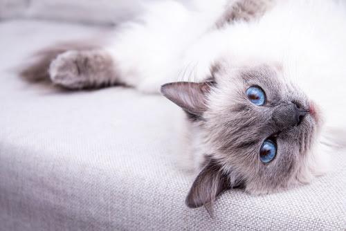 10 Best Cat Breeds For Children