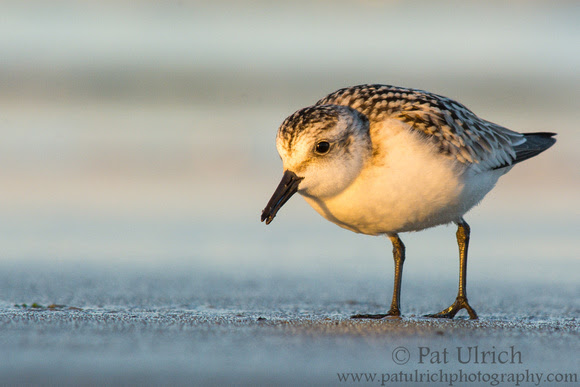 Sanderling in the warm glow of sunset in Massachusetts