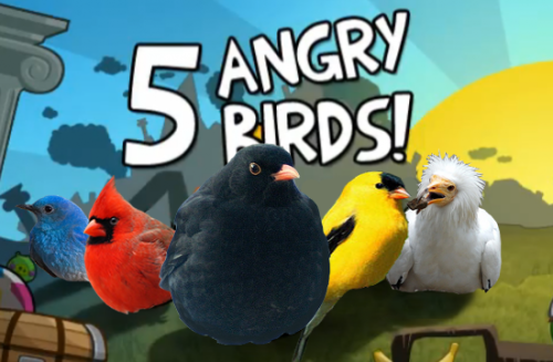 The Real Angry Birds!