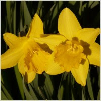 narcissus daffodil flower