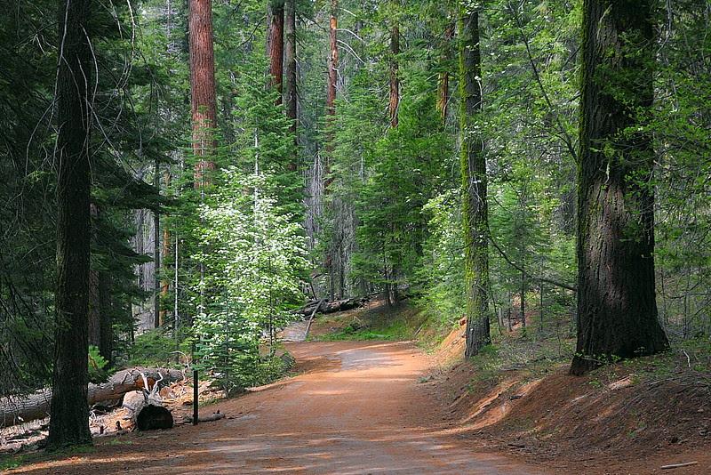 IMG_3628 Tuolumne Grove of Giant Sequoias