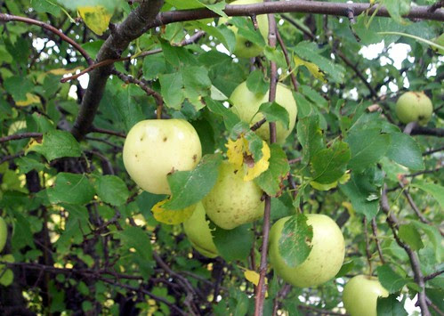 Apples_10110c
