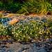 Tangenfjæra - Ranheim strand-flora