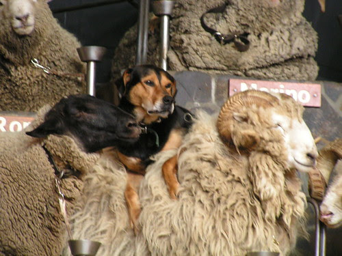 dog riding a sheep
