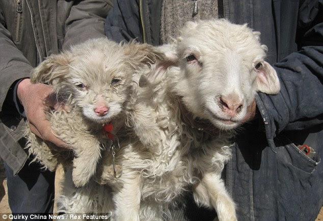 Πρόβατο γέννησε... σκύλο!