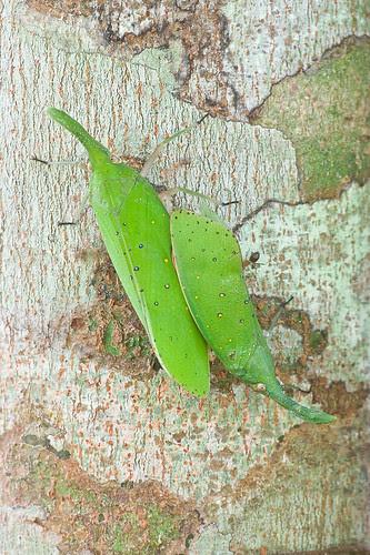 green lantern bugs mating, Pyrops shiinaorum shiinaorum IMG_6748 copy lantern bugs of malaysia