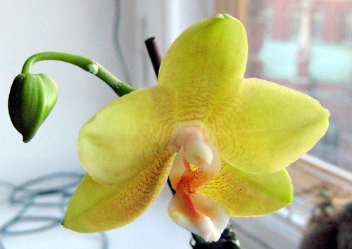 my old and faithful yellow orchid by Anna Amnell