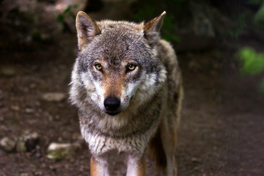 El Lobo Y Su Significado Esotérico