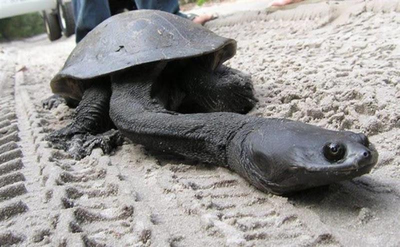 Змеиношеяя черепаха животные, интересное, удивительное, фото