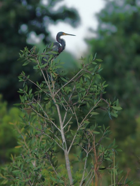 Tricolored Heron 20130917
