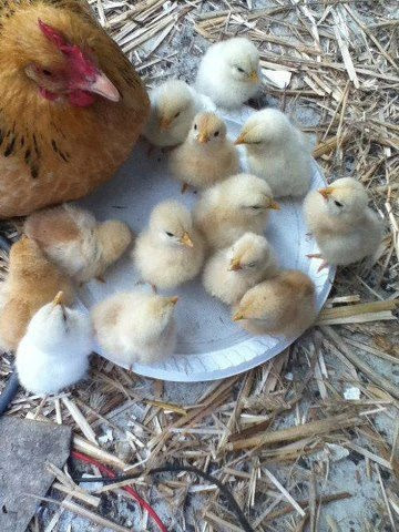 Baby Chicks with Mother Hen... the way they should be raised