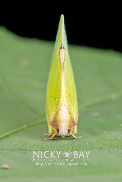 Flatid Planthopper (Flatidae?) - DSC_8896