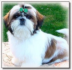 Shih Tzu Grooming Tips By Doggie Bow Ties