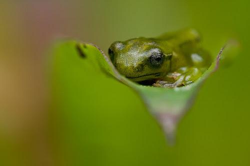a metamorph Malayan Flying Frog, <i>Rhacophorus prominanus</i> IMG_1642 copy