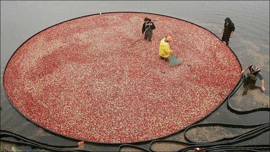 Εντυπωσιακή διαδικασία συλλογής cranberries (1)