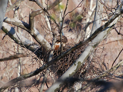 Red-Tailed Hawk in Highbridge Park Nest