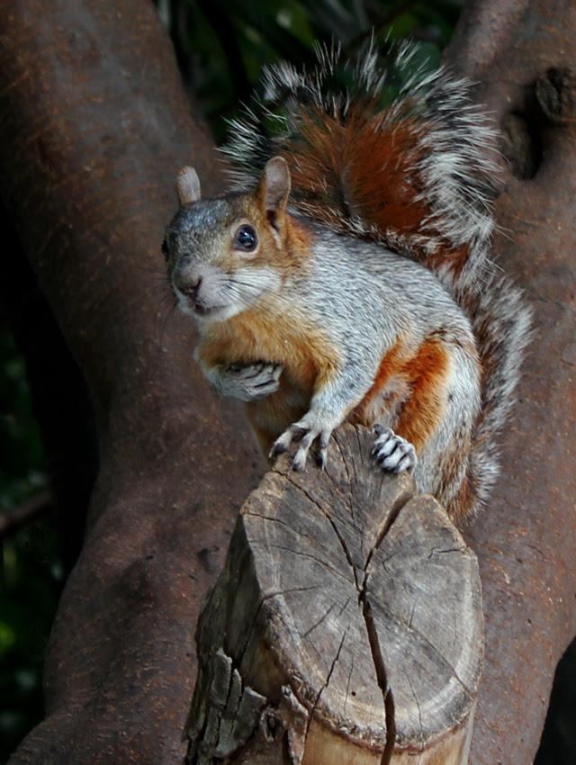 Museum squirrel
