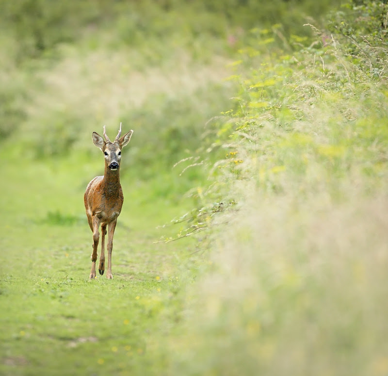 Roe deer, Friston Forest