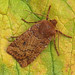 2259 The Chestnut (Conistra vaccinii)