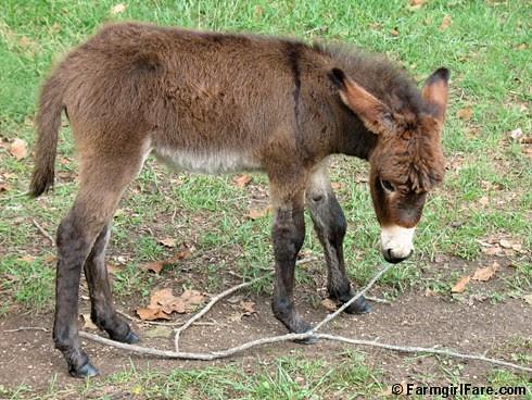 The Daily Donkey 128 - Gnat nibbles on a branch -  FarmgirlFare.com
