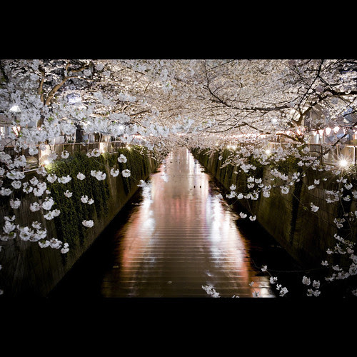 Sakura por Guwashi999